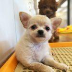 《家族募集中》チワワ[2017.8.22生]子犬あるある