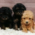 トイプードル 美人3姉妹♥デビュー!