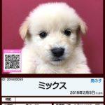 201800055 ミックス(柴犬×ゴールデンレトリバー)