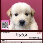 201800056 ミックス(柴犬×ゴールデンレトリバー)