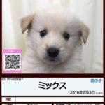 201800057 ミックス(柴犬×ゴールデンレトリバー)