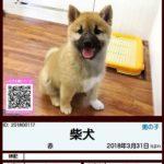 201800117 柴犬