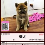 201800118 柴犬