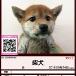 201800180 柴犬