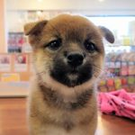 《家族募集中》柴犬[2018.7.24生]パパは❝豆柴認定犬❞