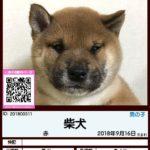 201800311 柴犬