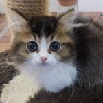 《家族募集中》マンチカン[2018.10.14生]猫界のダックスフンド!