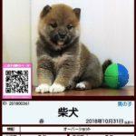 201800361 柴犬