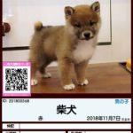 201800368 柴犬