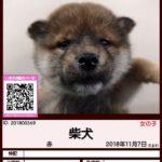 201800369 柴犬