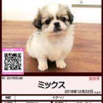 201900048 ミックス(チワワ×ペキニーズ)