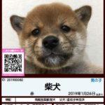 201900082 柴犬(両親豆柴認定犬)