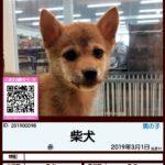 201900098 柴犬