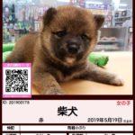 201900178 柴犬